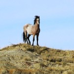 Wild horse on hill